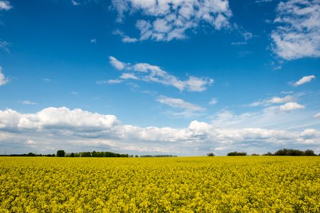 latvia: Summer Landscape with rapeseed Field and Clouds in latvia