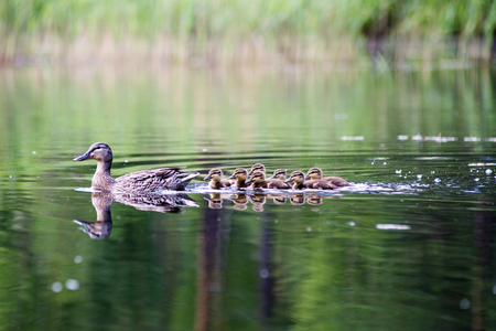duck with the ducklings first time in the water on the lake at summer Stock Photo