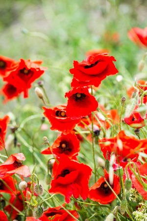 flare up: red poppy flowers and blossoms in spring blooming in natural environment Stock Photo