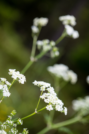 flare up: forest flowers and blossoms in spring blooming in natural environment Stock Photo