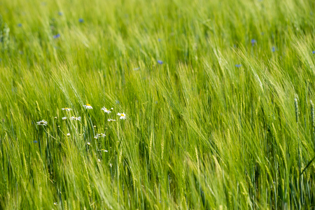 Green wheat field close up macro photograph with abstract texture
