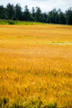 cloudscapes: Summer Landscape with Wheat Field and Clouds in latvia