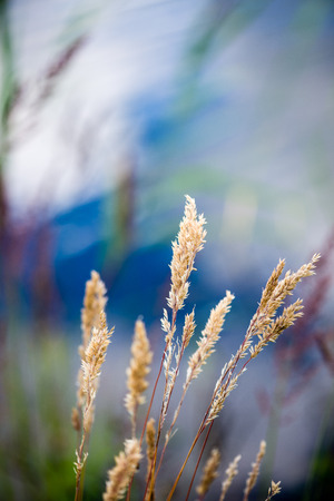 beautiful grass bents on the background of blue water in summer Stock Photo