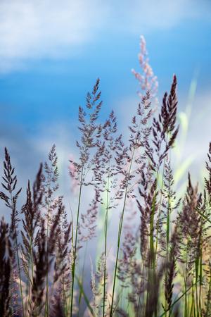 arboles frondosos: beautiful grass bents on the background of blue water in summer Foto de archivo