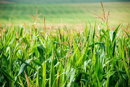 Cultivated field corn in bright summer day in countryside