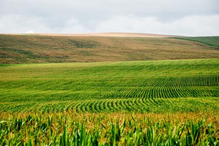 시골에서 밝은 여름날에 경작 된 옥수수
