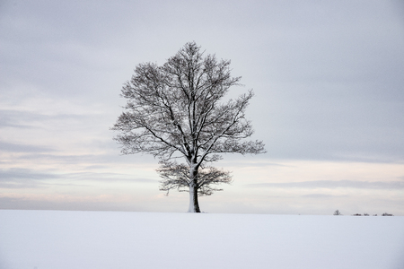 cold winter forest in mist with snow covered tree trunks