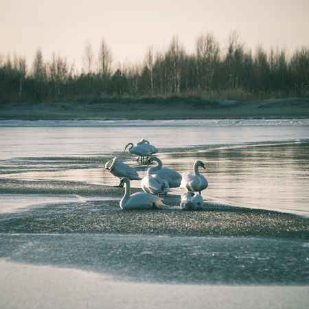 early swans resting on a thin ice in winter by the sea