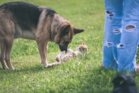 dog fighting domestic cat and playing in the green meadow - vintage look Stock Photo