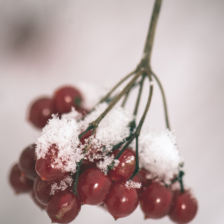 red berries in the snow with frost and blur background - instant vintage square photo
