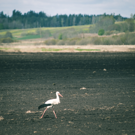 chasing: wild stork in the meadow at countryside in spring - instant vintage square photo