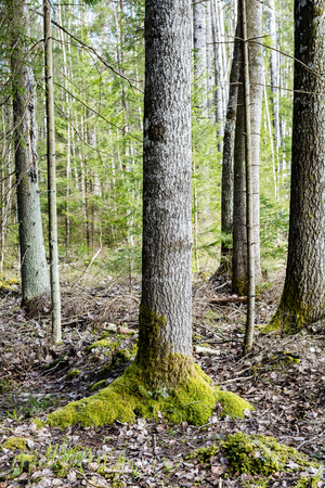latvia: tree trunks in forest with rays of sun and sharp shadows. early spring Stock Photo