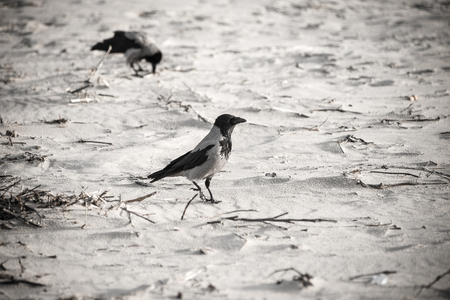 crow walking down the beach sand. close-up - retro vintage 80s film look Stock Photo