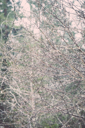 wet tree branches in winter forest with water drops and blurred background - vintage retro effect Stock Photo