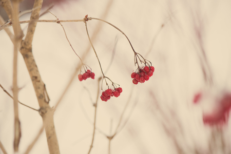 red berries in the snow with frost and blur background - aged photo effect, vintage retro