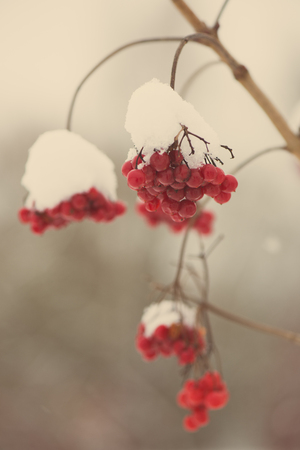 sopel lodu: red berries in the snow with frost and blur background - aged photo effect, vintage retro