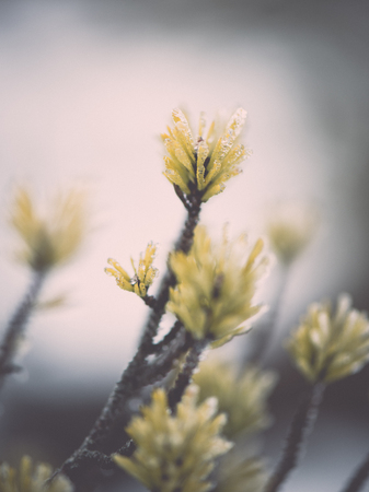 pine tree branch closeup with blur background in frosty winter morning - retro vintage effect