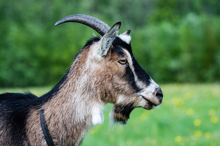 domestic goats in countryside environment in summer Stock Photo