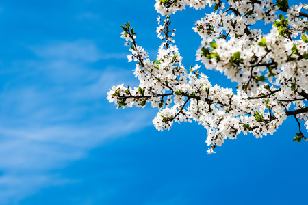Image of lush early spring foliage - vibrant green spring fresh leaves of blooming apple tree in spring in garden