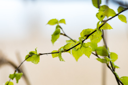 Horizontal image of lush early spring foliage - vibrant green spring fresh leaves of birch tree in spring in protected forest Stock fotó