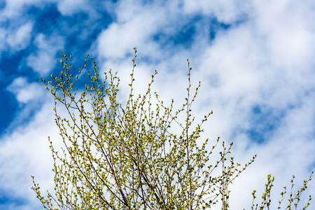 springtime: Horizontal image of lush early spring foliage - vibrant green spring fresh leaves of birch tree in spring in protected forest Stock Photo