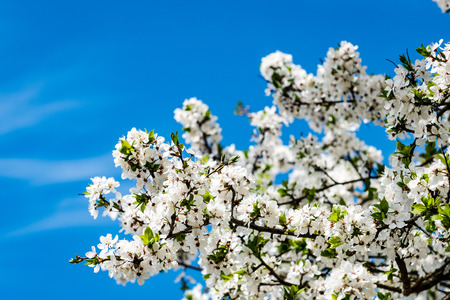 springtime: Image of lush early spring foliage - vibrant green spring fresh leaves of blooming apple tree in spring in garden