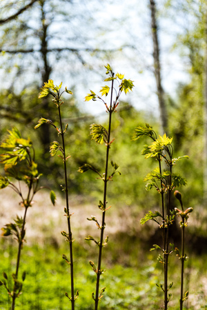 springtime background: Horizontal image of lush early spring foliage - vibrant green spring fresh leaves of birch tree in spring in protected forest Stock Photo