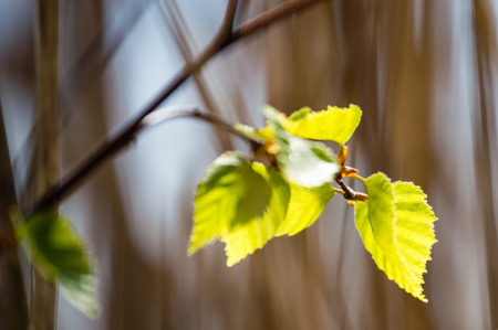 Horizontal image of lush early spring foliage - vibrant green spring fresh leaves of birch tree in spring in protected forest Stock Photo