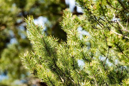 Horizontal image of lush early spring foliage - vibrant green spring fresh leaves of pine tree in spring in protected forest Stock fotó