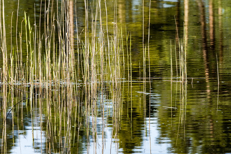 reflections of old tree trunks in blue pond water. spring in country Stock Photo