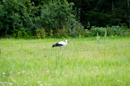wild stork in the meadow at countryside in spring Stock Photo