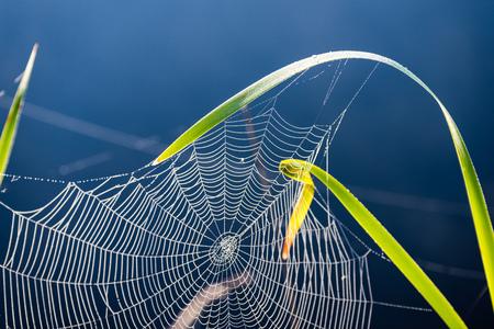 Mooie spinnenweb met dauwdalingen in zomerweide na de regen met neutrale achtergrond Stockfoto
