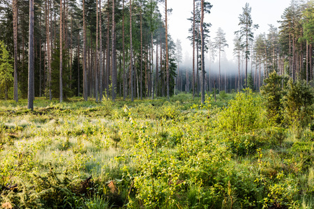 Misty morning in the woods with tree trunks and green foliage and fresh grass of spring