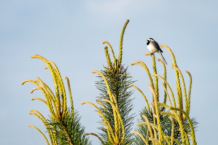 pied: small wagtail bird on a pine tree branch in early morning in summer Stock Photo