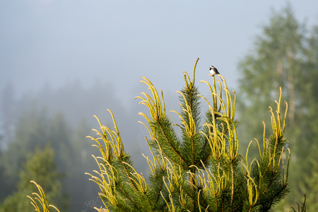 small wagtail bird on a pine tree branch in early morning in summer Stock Photo
