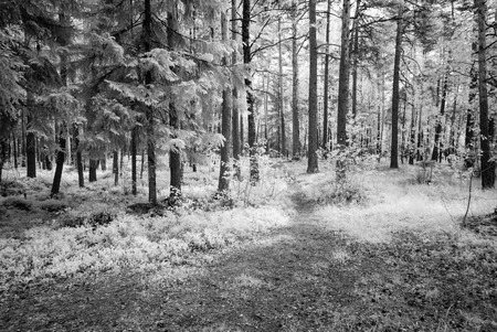 midday: country gravel road in forest with dark tree trunks. infrared image