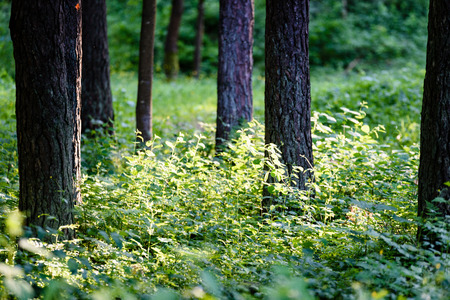 green forest with tree trunks and light rays, shadows in summer Stock Photo