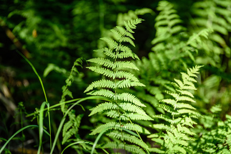View on green Fern leaves under sunlight in the woods. Plants in the Forest. Stock Photo
