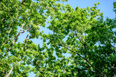 radiance: oak tree leaves in early summer against blue sky Stock Photo