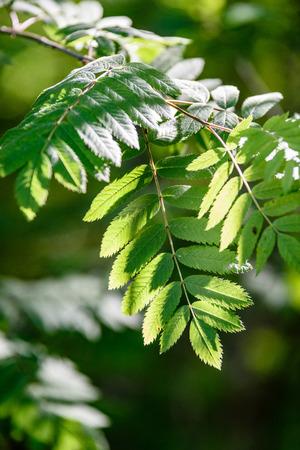 rowan tree leaves in harsh sunlight with tree trunks in background