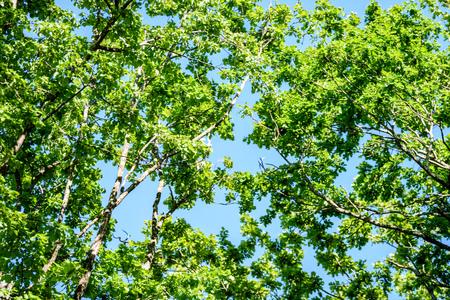 oak tree leaves in early summer against blue sky Stock Photo