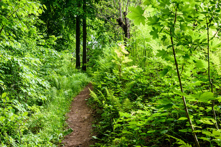 resplandor: green forest in early summer morning. foliage and isolated background with trees