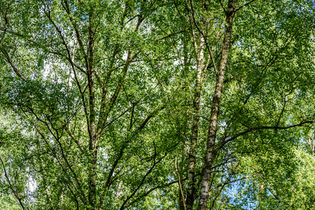Horizontal image of lush early spring foliage - vibrant green spring fresh leaves of birch tree in spring against blue sky Stock Photo