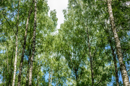 Horizontal image of lush early spring foliage - vibrant green spring fresh leaves of birch tree in spring against blue sky Stock fotó