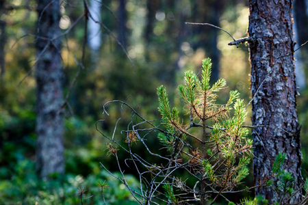 lush early spring foliage - vibrant green spring fresh leaves of pine tree in warm evening light