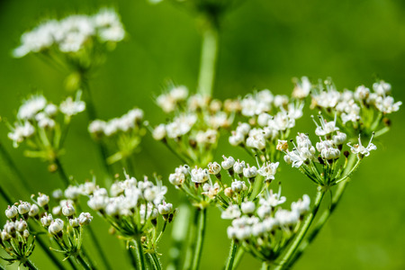 white spring flowers on green background with shallow depth of field Stock Photo