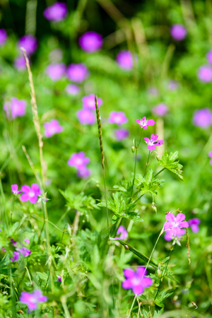 purple spring flowers on green background with shallow depth of field Stock Photo