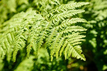 beautiful green Fern leaves under sunlight in the woods in summer