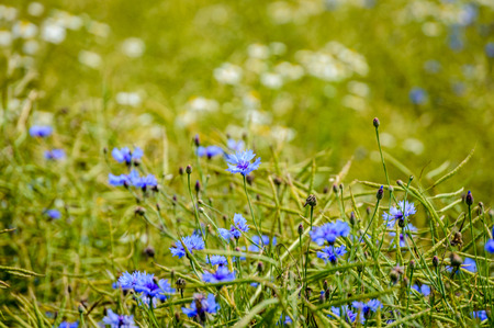 blue spring flowers on green background with shallow depth of field Stock Photo