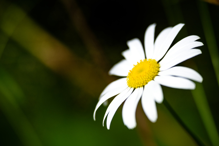 white daisy flowers on green background with shallow depth of field